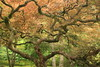 Bonsai (jepoirrier) Tags: bonsai tree branches leaves japanese garden seattle wa