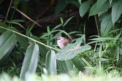Yellow vented bulbul (Pycnonotus goiavier)