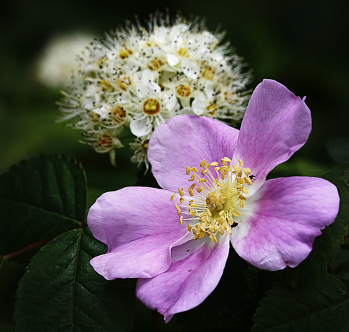wild rose and pacific ninebark