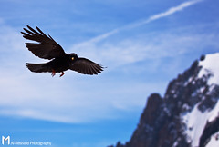Flying at 3000+ meters (Mishari Al-Reshaid Photography) Tags: blue summer sky mountain black france alps cold bird animal clouds canon flying high amazing cool wings europe air alpine chamonix 3000 chough 100400 alreshaid studiom mishari canoneos5dmarkii misharialreshaid misharyalreshaid