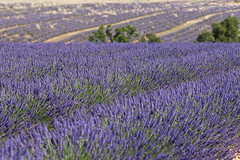 Lavenderfield for ever.... (no.zomi) Tags: france frankreich provence lavendel levender