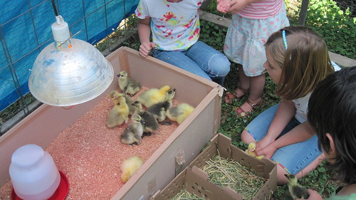 kids and goslings