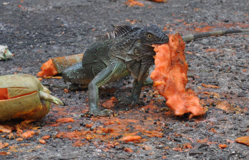iguana eating papaya