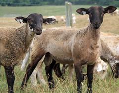 Crossbred ram lambs