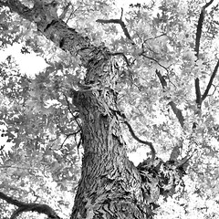 Textures of Summer Wallpaper for iPad (Thomas Gehrke) Tags: summer wallpaper blackandwhite tree leaves background bark ipad
