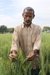 Indian farmer and CSISA partner experiments wi...