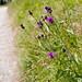 #187 - fleurs sauvages, pendant la rando