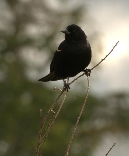 07-12-2010_redwingedblackbird