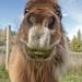 Pony_Nose