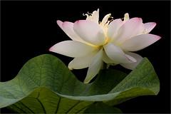 Lotus Flower - IMG_1066 (Bahman Farzad) Tags: flower macro yoga peace lotus relaxing peaceful meditation therapy lotusflower lotusflowers lotuspetal lotuspetals lotusflowerpetals lotusflowerpetal