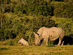 P6147631 (btrain16) Tags: vacation animals southafrica olympus safari e300 zuiko 2010 whiterhino ukhozi 40150mm ceratotheriumsimum kariega
