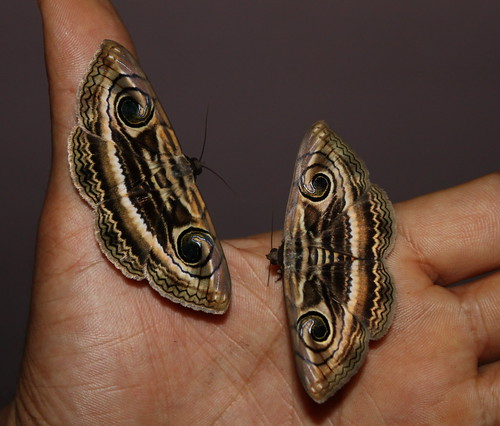 Indian Owlet Moths-Spirama retorta