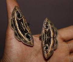 Indian Owlet Moths-Spirama retorta