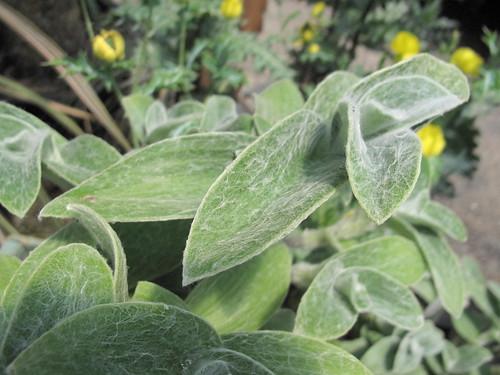 Tradescantia sillamontana (cobweb spiderwort, gossamer)