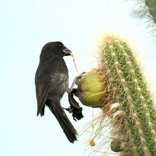 Antillean Bullfinch