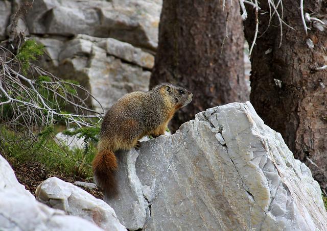 A Marmot at Lake Marie
