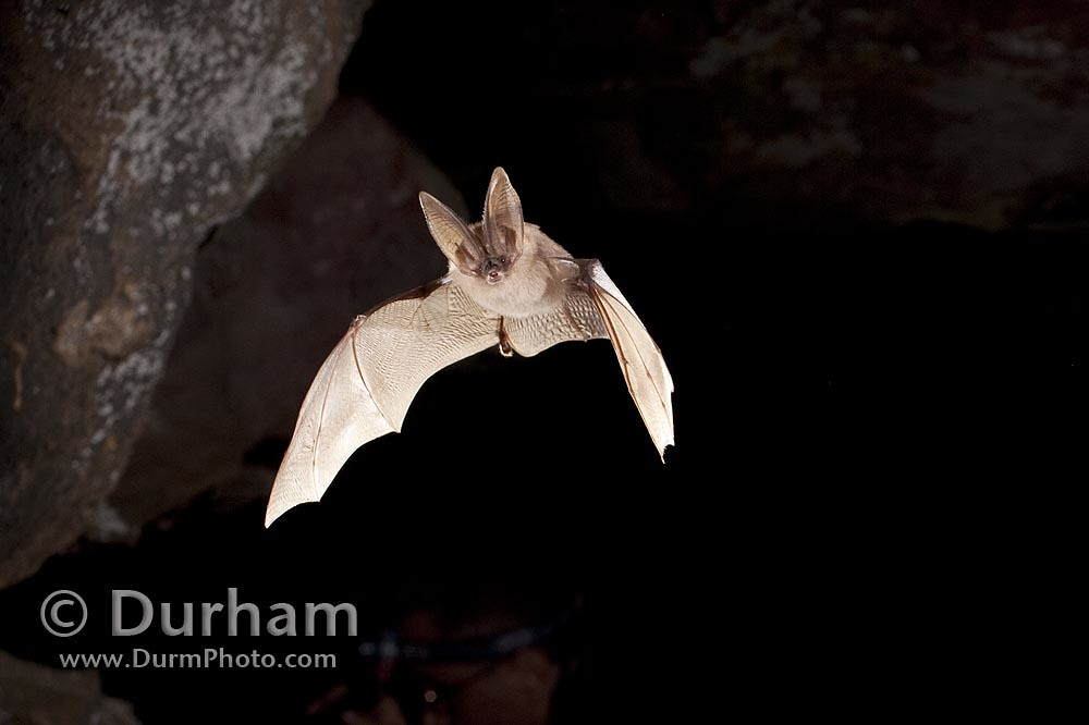 Townsend's big-eared bat (Corynorhinus townsendii)