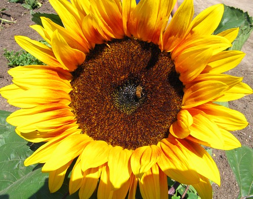 Sunflower!