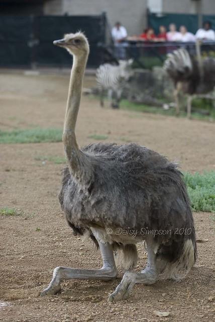 sitting ostrich