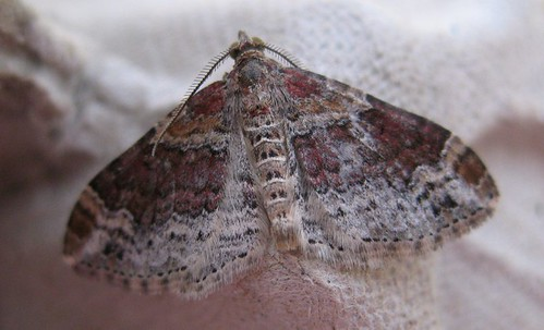Red/Dark-barred Twin-spot Carpet