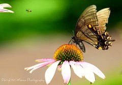 Butterfly 'interrupted' Photo-shoot (Darryl W. Moran Photography) Tags: lepidoptera monarch naturemacro schuylkillcanal worldnature colourfulnature wildlifecloseup butterflyphotographs darrylmoranphotography holometabolousinsects schuylkilllock60 brightlycolouredwings agentsofpollination pottstownpaphotographer