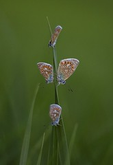 Common Blue's (christianvt) Tags: blue photo foto christian van icarus common blauwtje tilborg