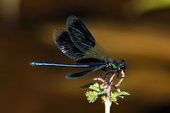 charmante demoiselle (lachaisetriste) Tags: macro nikon berge vienne creuse libellule rive d700