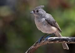 IMG_9297 (sqrphoto) Tags: light summer usa bird canon grey newjersey backyard colours feathers nj suburbia titmouse tufted songbird tuftedtitmouse plumage unioncounty berkeleyheights canon400mmf56 sqrphoto