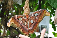 Biggest Moth in the World