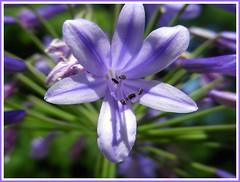 Purple or Blue that was the REAL question (makeupanid) Tags: friends toronto flower highpark purple planter hillsidegardens idontknow whatflower fantasticflower flickrsfantasticflowers awesomeblossoms