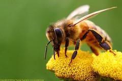 Wasp (Thomas Suurland) Tags: macro green closeup insect suurland thomassuurland