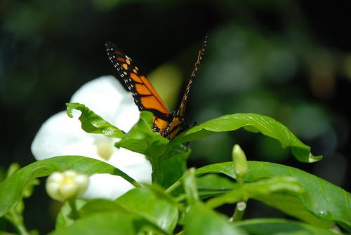 Olbrich Gardens Butterflies