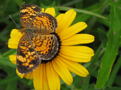 Especially for Joanne.   And thank you, Curt, for the correct identification!  This is a Pearl Crescent Butterfly.