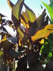 Canna musafolia rubra