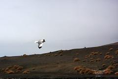 Black Headed Seagull in flight at Pangong Tso Lake (Arvind Manjunath) Tags: india bird animal himalaya polarizer incredible leh himalayas ladakh cpl 2010 hoya canonefs1785mmf456isusm incredibleindia canon40d arvindmanjunath img12860