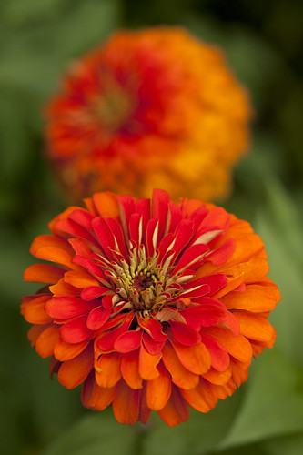 Tip of the week late summer flowers herbs for a vase plant talk zinnia mightylinksfo