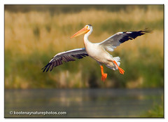 American White Pelican (kootenaynaturephotos.com) Tags: birds bc ngc pelican soe ducklake americanwhitepelican pelecanuserythrorhynchos mygearandmepremium mygearandmebronze mygearandmesilver mygearandmegold mygearandmeplatinum mygearandmediamond mygearandmeplatinium mothernaturesgreenearth~frontpage