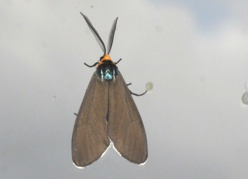 Virginia Ctenucha Moth (4)