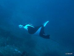 Manta ray, Thailand
