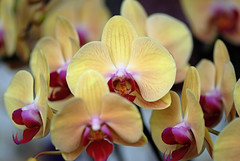 Courage (alvinclsmy) Tags: orchid collection malaysia putrajaya milky nikond80 rarecolor alvinclsmy 4tografie putrajayafloralfestival2010