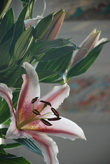 OrientalLily1 (theaxx) Tags: pink green leaves petals stem lily fresh lilies stamen bloom tigerlily floweres orientallily