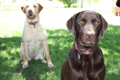 Charlie and Jackson - Labrador Retrievers