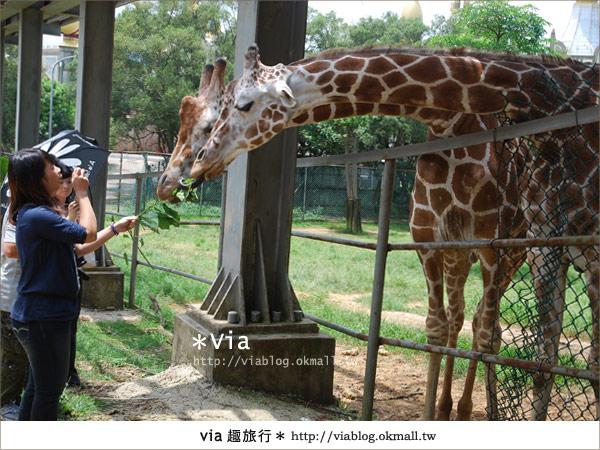 【關西六福莊】精彩秘探野生動物園/DIY手作/農趣樂~!36
