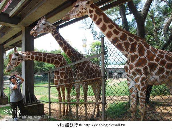 【關西六福莊】精彩秘探野生動物園/DIY手作/農趣樂~!41