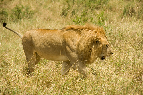 Male Lion - Maasai Mara, Kenya
