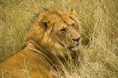 genus: Panthera. Male Lion - Maasai Mara, Kenya
