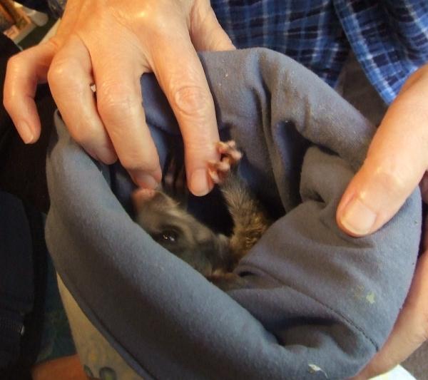 baby Australian possum