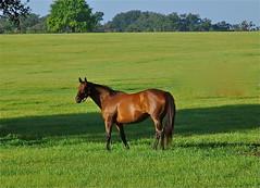 Nice Thoroughbred mare
