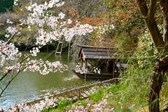 Pond in Ryoan-ji Temple Kyoto Japan-7 (Hopeisland) Tags: plant nature japan garden cherry temple spring kyoto blossoms zen sakura cherryblossoms rockgarden ryoanji zengarden  ryoanjitemple