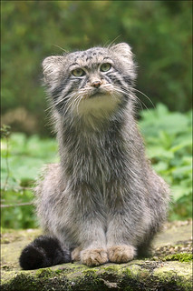Manul, a small wild cat